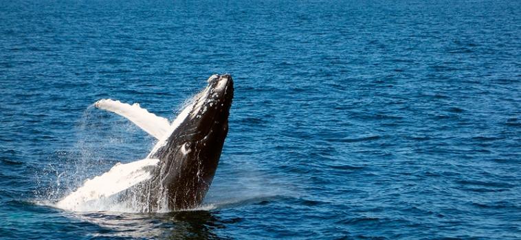 Paradís de balenes a les Açores